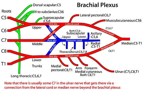 Easy Notes On 【Brachial Plexus】Learn in Just 4 Minutes!