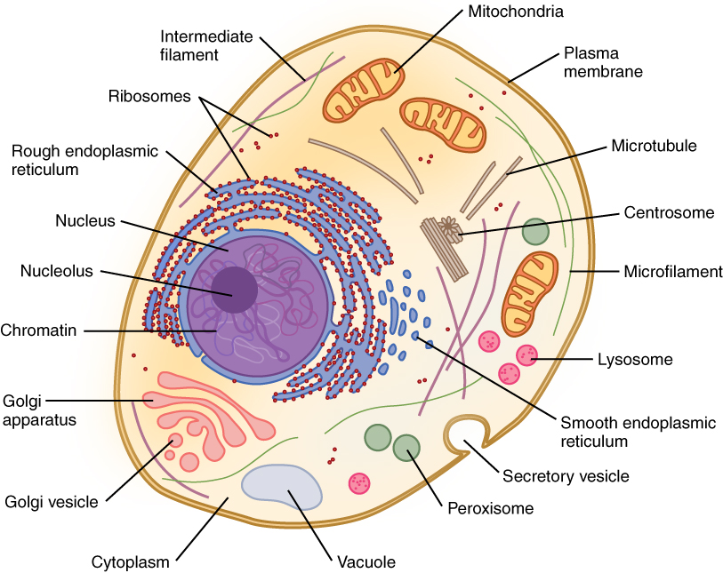 Cell Organelles: Nucleus YouTube