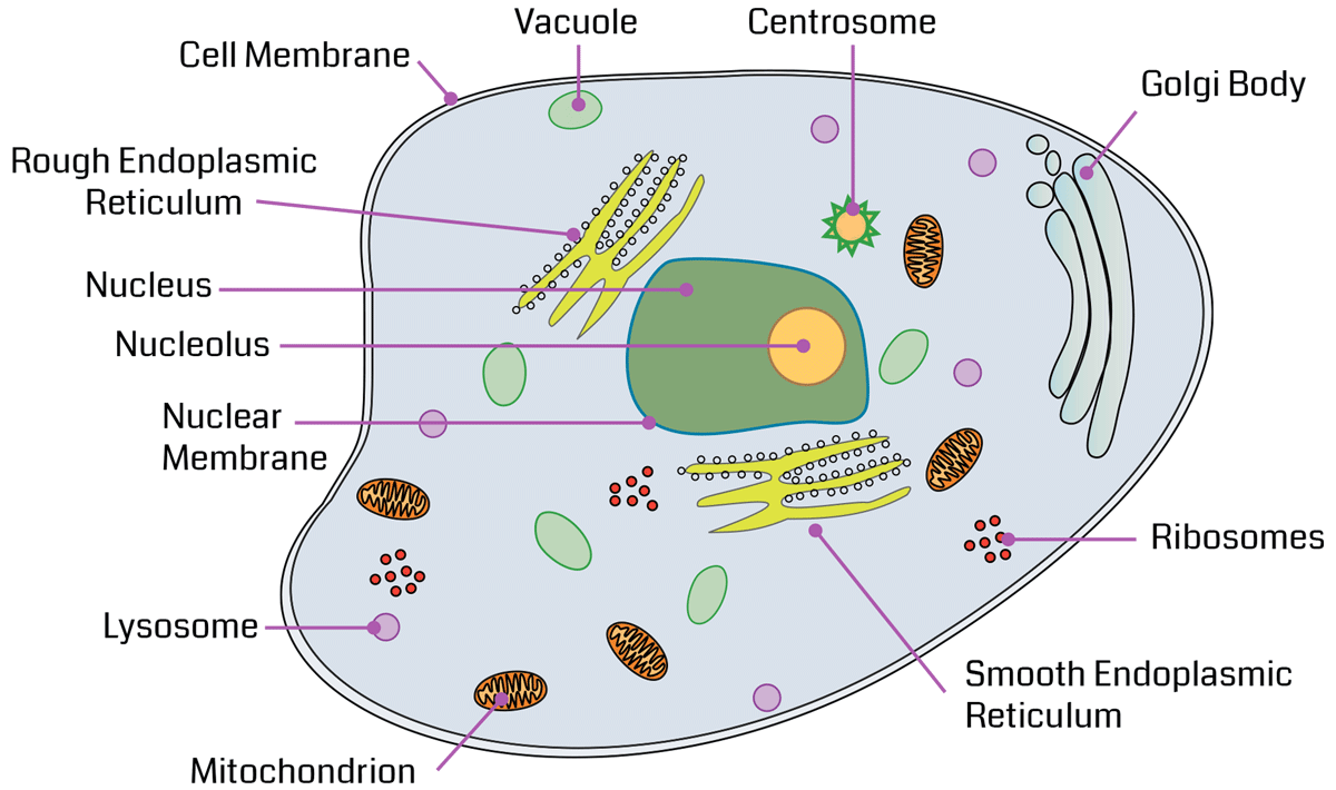 Cell Organelles. ppt video online download