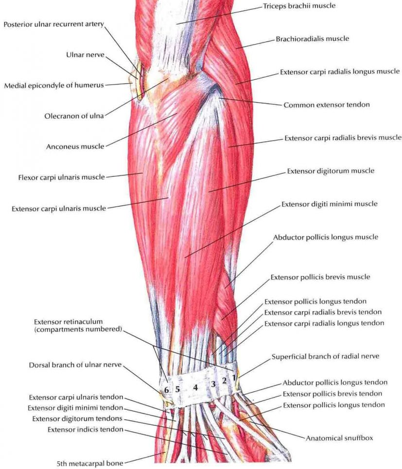 Forearm Muscles: Origin, Insertion, Nerve Supply & Action » How To
