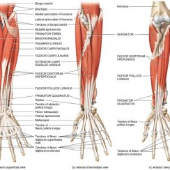 forearm muscles forearm muscles