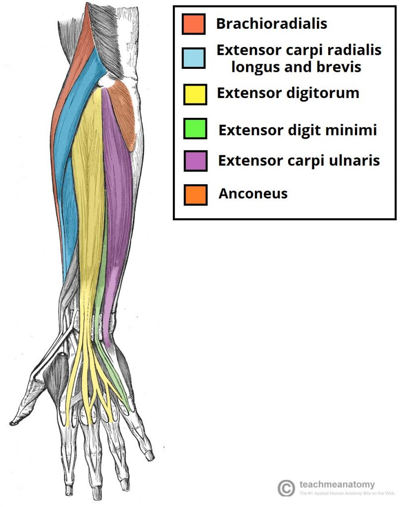 Muscles of the Forearm | AnatomyZone