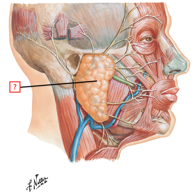 Superficial Face and Parotid Gland Flashcards | Memorang