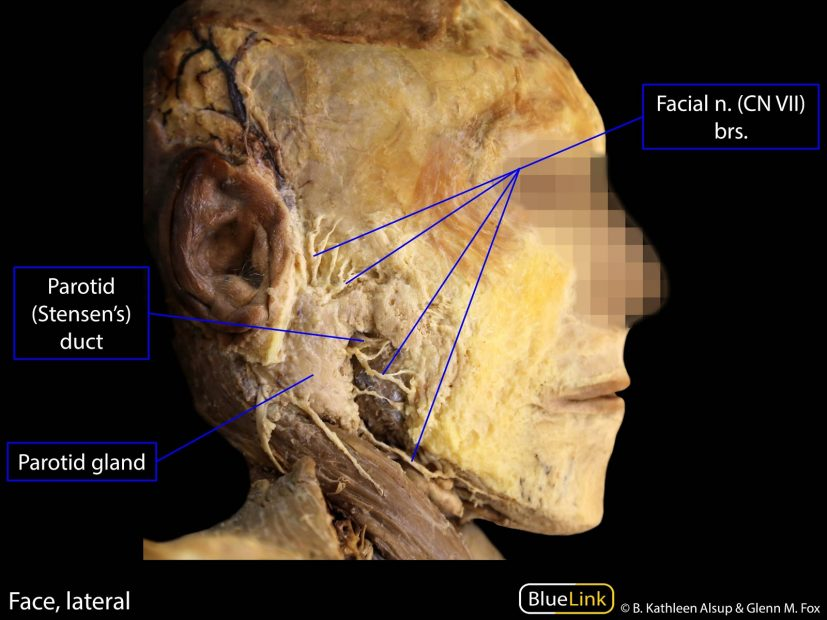 Learning Objectives: Parotid Gland & Submandibular Triangle BlueLink