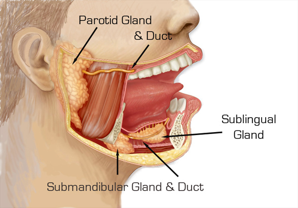 Anatomy Of The Parotid & Submandibular Glands & Ducts | Dr. Larian