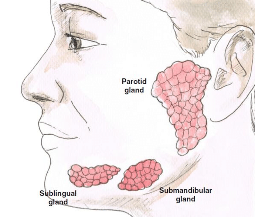 Figure 1.14 Representation of the three pairs of salivary glands