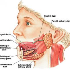 salivary glands salivary glands