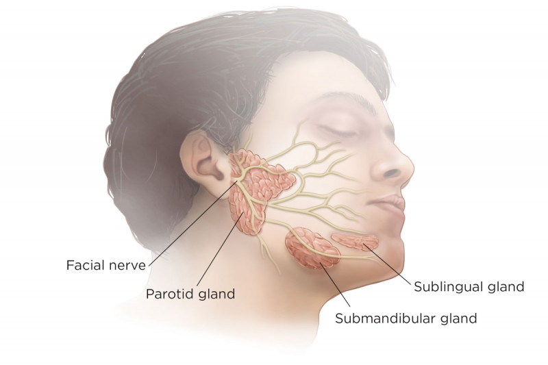 Salivary Glands Anatomy | Memorial Sloan Kettering Cancer Center