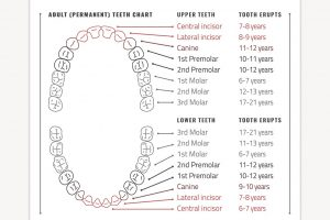 tooth chart teeth infographic c preview