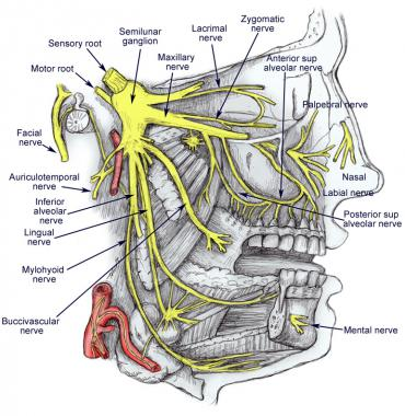 Trigeminal Nerve Anatomy: Gross Anatomy, Branches of the