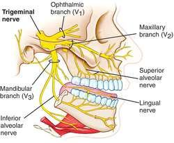 Trigeminal nerve | definition of trigeminal nerve by Medical