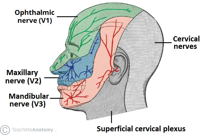 The Trigeminal Nerve (CN V) Course Divisions TeachMeAnatomy