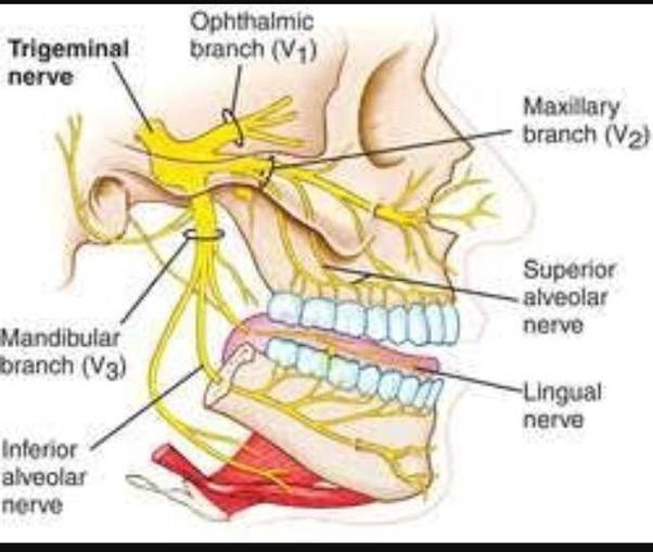 Why is Trigeminal nerve called so? Quora
