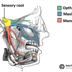 trigeminal nerve overview of the anatomical distribution of the trigeminal nerve and its terminal branches