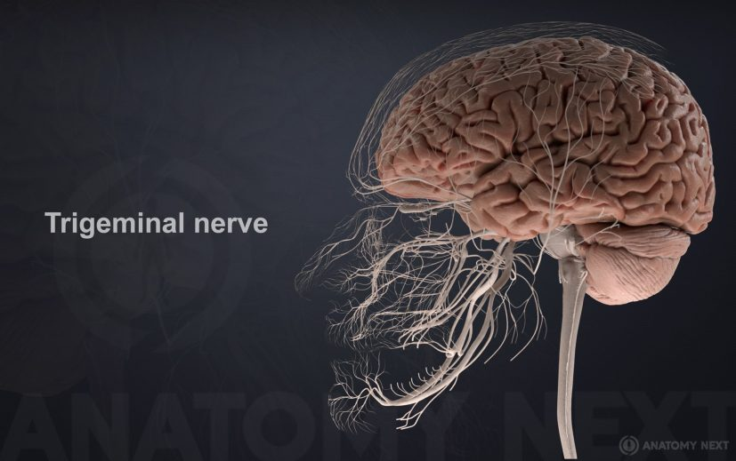 Interesting facts about trigeminal nerve – Meddy Bear