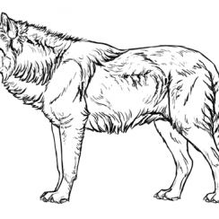wolf drawing how to draw wolves fur simplified