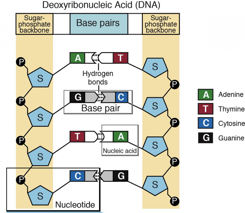 Nucleotides and Bases Genetics Generation