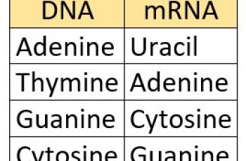 dna to mrna dna mrna bases