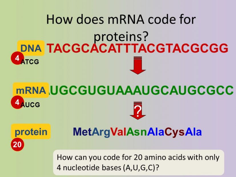mRNA and DNA
