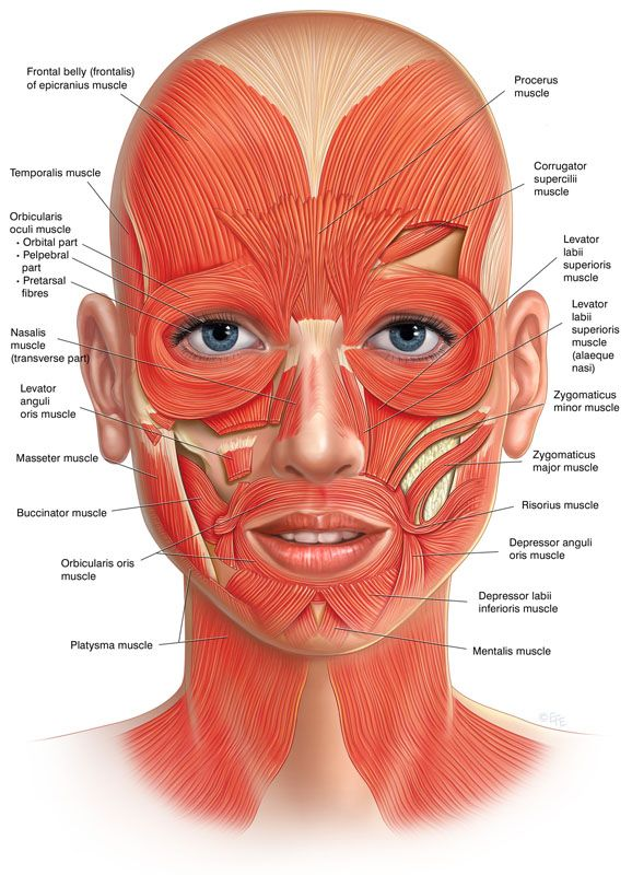 Facial muscles frontal view … | fitness …