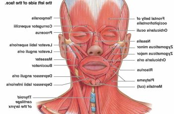 facial muscles bbcdecadabe