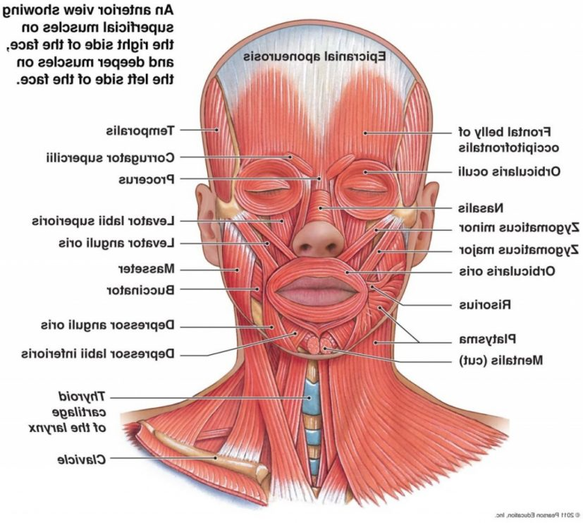 Facial Muscle Anatomy Facial Muscles Anatomy Human Anatomy Lesson