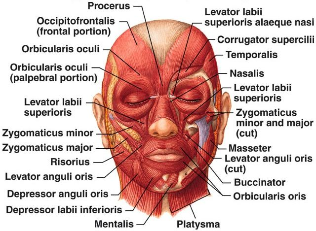 Facial Muscles #esthetician #education #face | Skin care