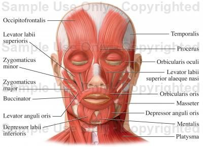 Muscles of the Face (Facial Muscles) Medical Illustration, Human