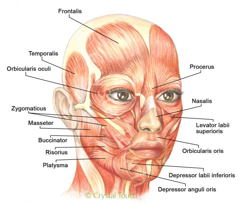 Muscles of facial expressions and how they work Crystal Touch
