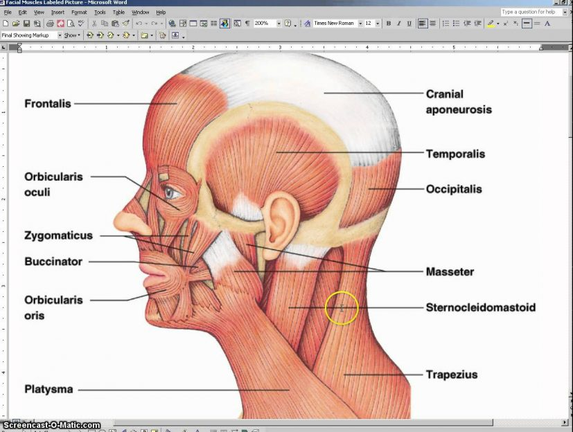 Facial Muscle Anatomy with Audio and for notes YouTube