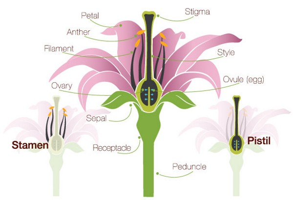 Flower Anatomy: The Parts of a Flower ProFlowers Blog