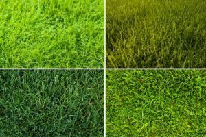 grass types cool season grass