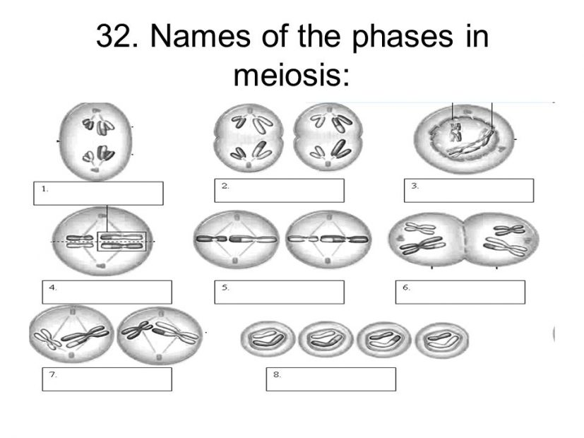 meiosis worksheet