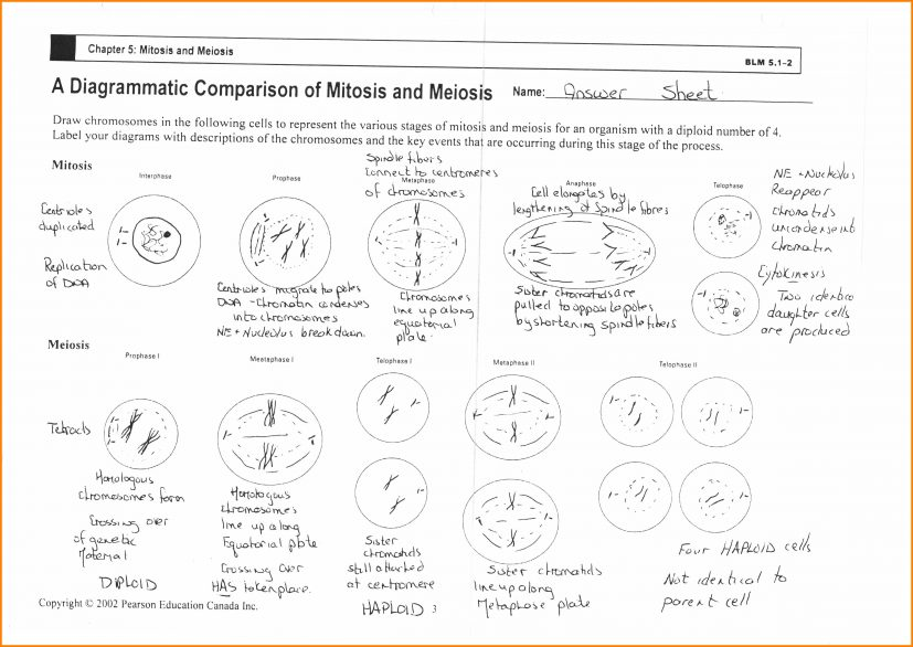 12+ mitosis and meiosis worksheet | kylin therapeutics
