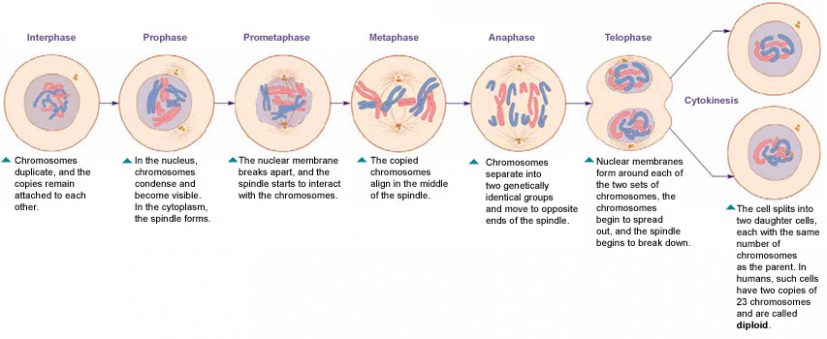 Mitosis Phases Image