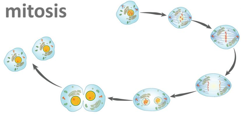 The Steps of Mitosis | Biology for Majors I