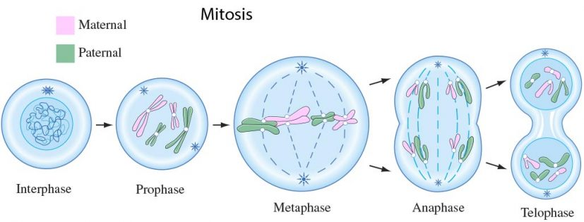 What is Mitosis? | Stages of Mitosis | Cell Division