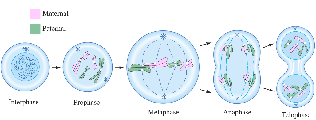 Mitosis Process and Different Stages of Mitosis in Cell Division