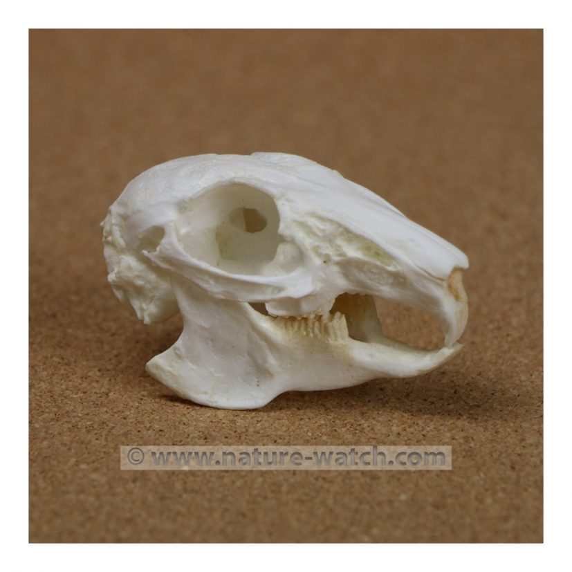 Cottontail Rabbit (eastern) Skull Replica